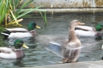 More ducks!